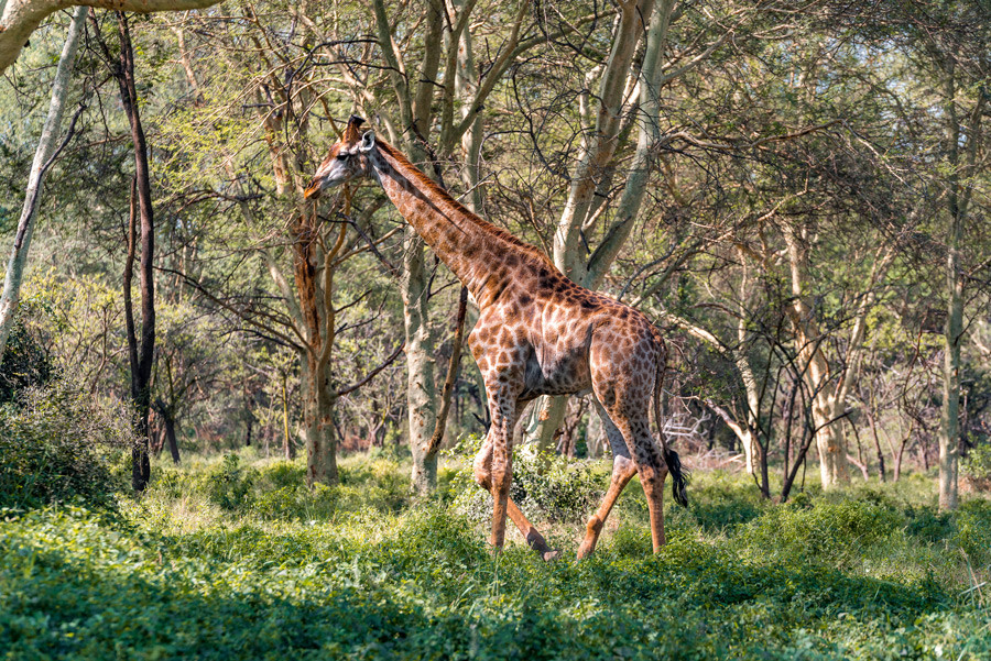 Giraffe at Nyala Park