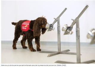 ¡Perros que huelen el Covid-19: la nueva estrategia contra la pandemia!!!