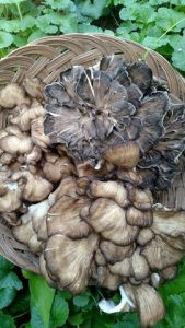 Maitake Mushrooms Fight Cancer