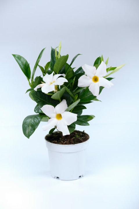 Dipladenia White