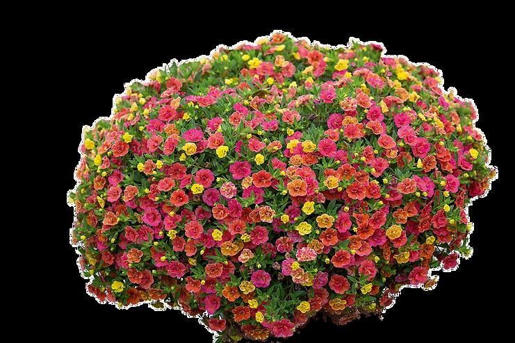 Desert Rose 2.png