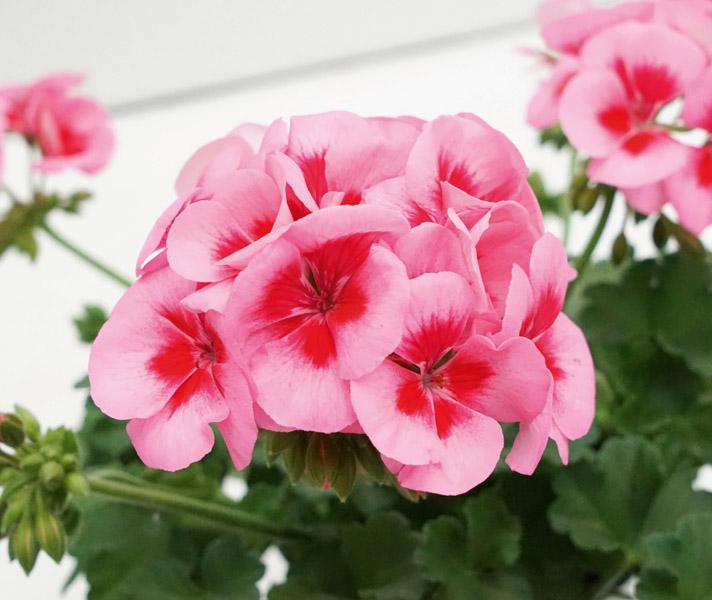 04550_SR_SmokeyEye_Rose