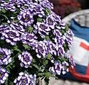 43054_Wicked Purple_69333.jpg