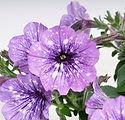 Petunia_LavenderSky_07411.jpg