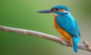 Kingfisher.JPG