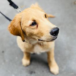 Scout - Labrador