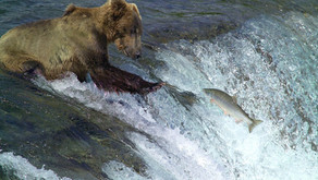 ALASKA: gli Orsi del Katmai National Park