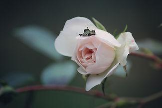 rose-3846436_1920.jpg
