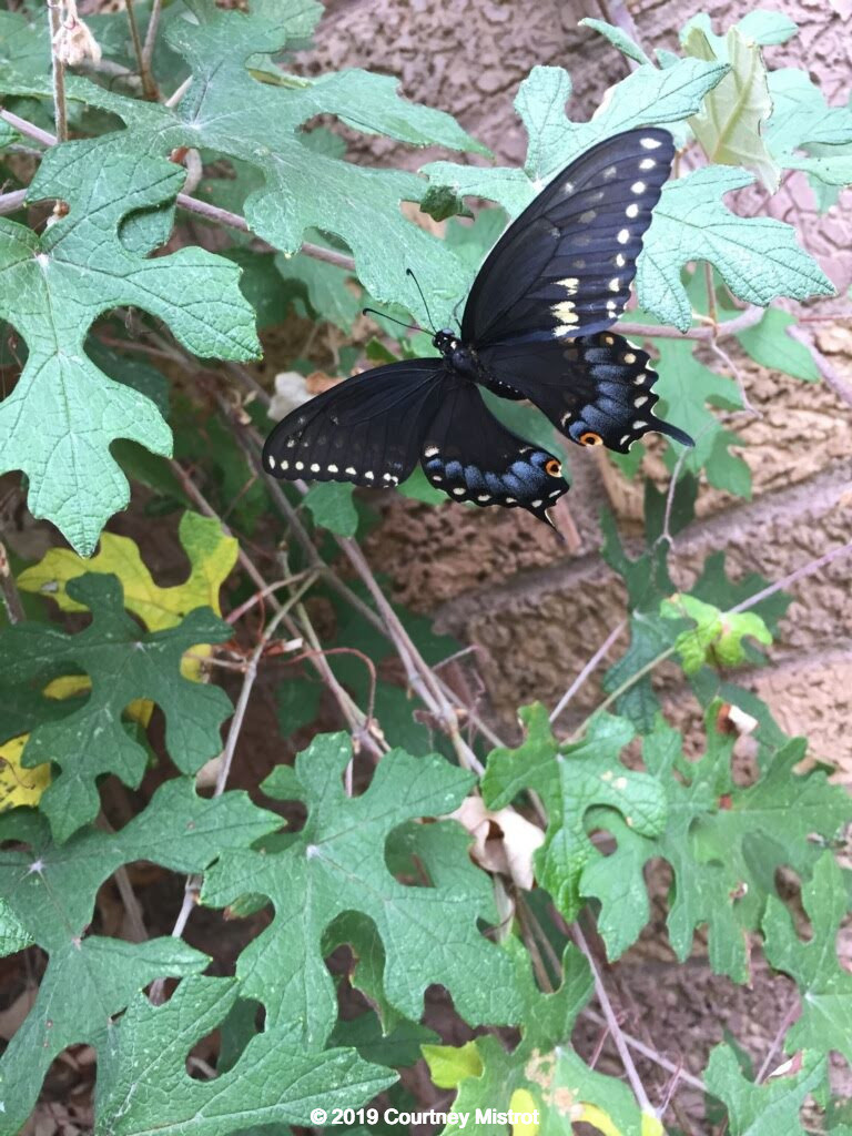 Dark-colored butterfly on a grapevine