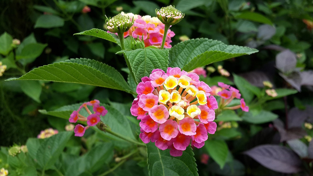 Photo of pink and yellow lantana flowers