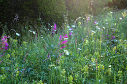 Wild-flower-meadow