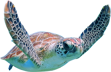 turtle-23742.png