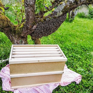 essaim abeilles dans arbre
