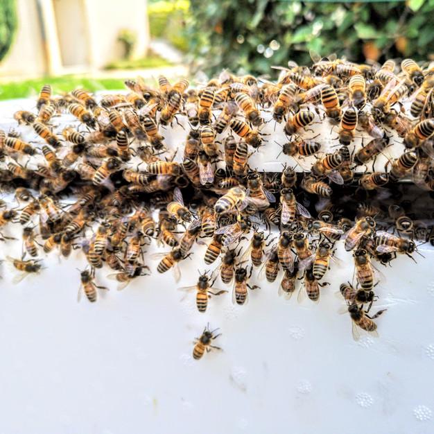 essaim-abeilles-ruchette.jpg