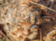 chenilles-urticantes-du-pin.jpg