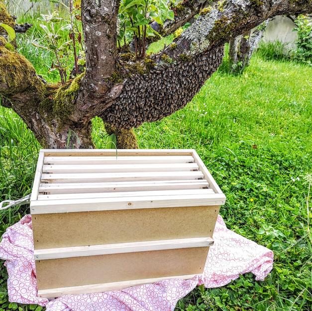 essaim-abeilles-arbre.jpg