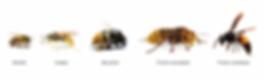 abeilles-guepes-frelons-bourdons.png