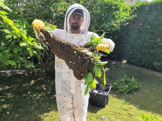 récuperer, cueillir essaim abeilles branche 78 Yvelines Versailles