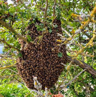essaim d'abeilles.jpg