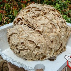 destruction de nid de frelons yvelines