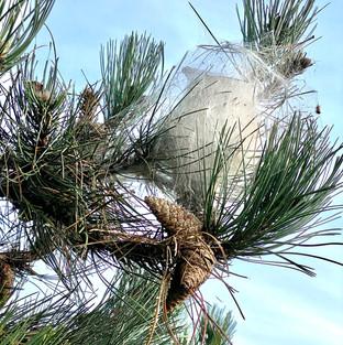 cocons de chenilles processionnaires du pin yvelines