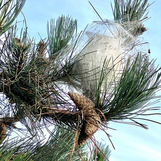 cocons de chenilles processionnaires du pin beynes yvelines