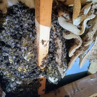 colonie d'abeilles ruche dans faux plafond.jpg