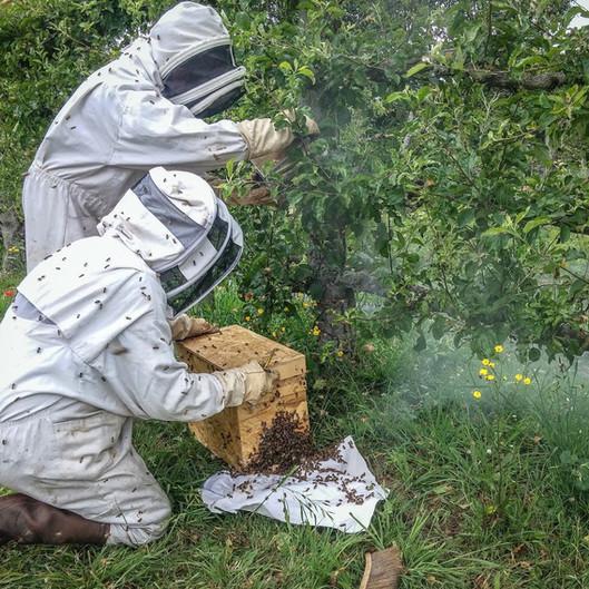 récupération d'un essaim d'abeilles dans un arbustre