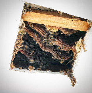 Colonie d'abeille dans un plafond.jpg