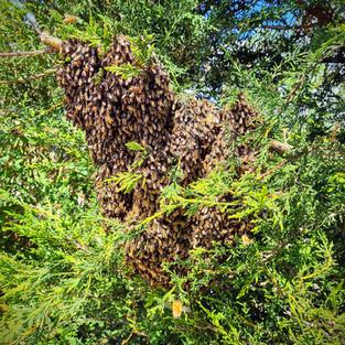essaim d'abeilles dans un arbre.jpg