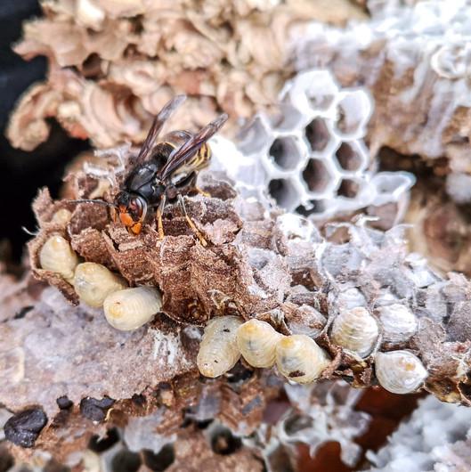 nid de frelons asiatiques vespa velutina