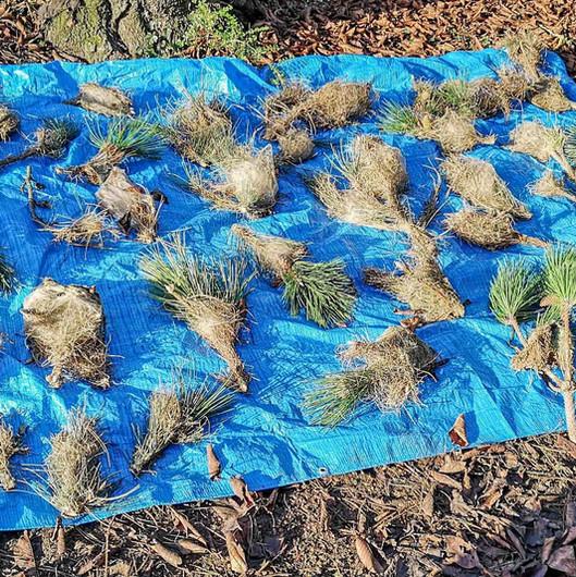 échenillage de cocons de nids de chenilles processionnaires du pin maule