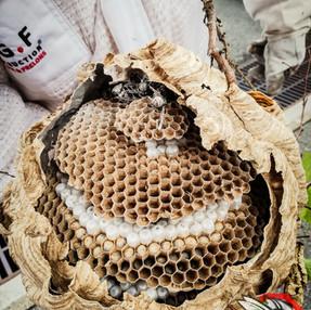 destruction frelons asiatiques à maurepas