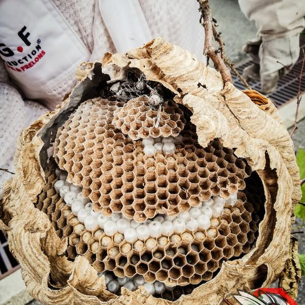 Destruction de nids de frelons asiatiques