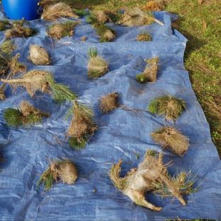 cocons de chenilles lutte échenillage branches yvelines