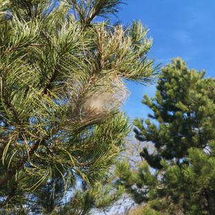 échenillage branche cocon chenilles pin urticantes yvelines