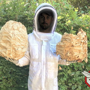 Enlevement de nid de frelons europeens Yvelines