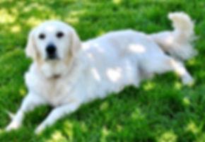 English Cream Retriever, Retriever, Golden Retriever, Goldendoodle, Mini Goldendoodle, White Retriever, White Retriever Puppies, Puppies for sale, ivory golden retriever, Non Shedding dog, Puppies for sale
