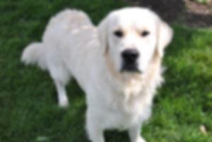 English Cream Retriever, Puppies for Sale, Stud Dog, Stud, Engish Goldendoodle, White Retriever
