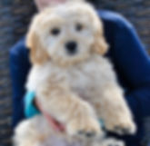 English Cream Retriever, Puppies for Sale, Stud Dog, Stud, Engish Goldendoodle, White Retriever, Mini Goldendoodle, Micro Goldendoodle, Toy Goldendoodle, Standard Goldendoodle, Non shedding, no shedding, hypoallergenic