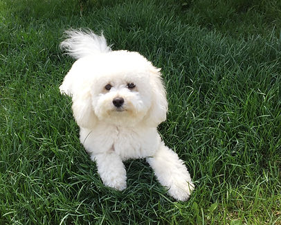 Goldendoodle, Toy Goldendoodle, Micro Goldendoodle, Non Shedding, hypoallergenic, puppies, puppy, puppies for sale