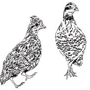 Northern bobwhite - Colinus virginianus