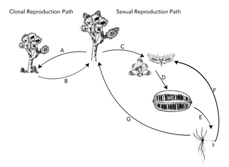 New publication: Joshua trees don't like to have sex when stressed
