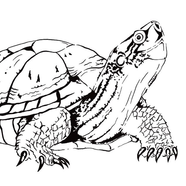 Northeastern pond turtle - Actinemys marmorata
