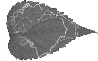 miner leaf-5@0,75x.png