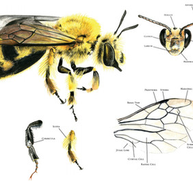 Bee anatomy illustration from book