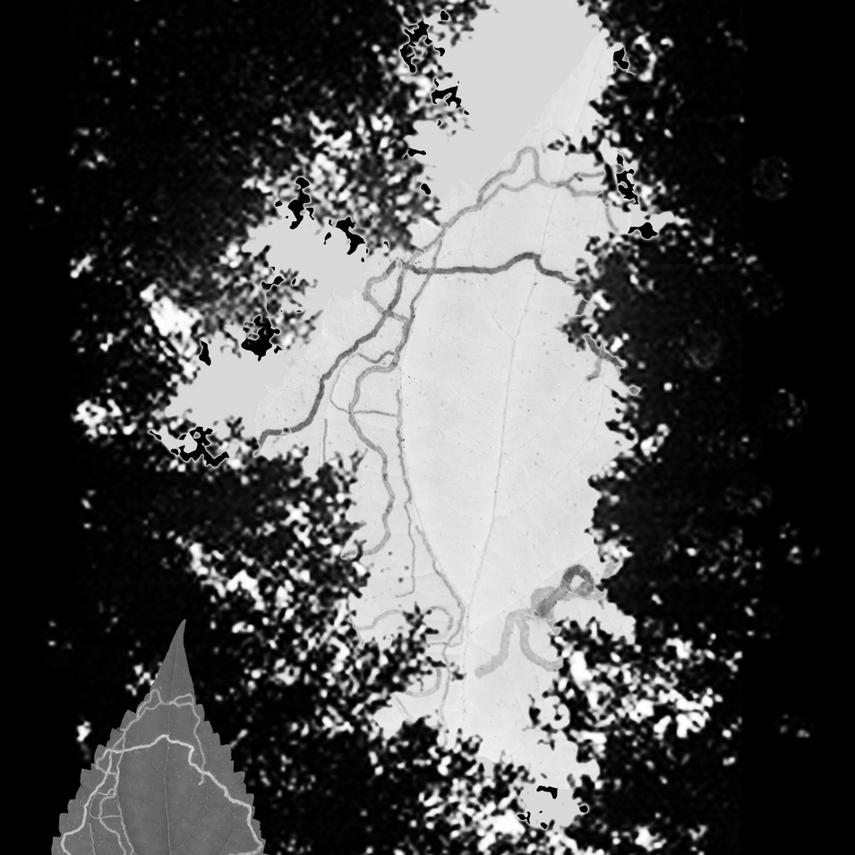 Tree gap mid elevation