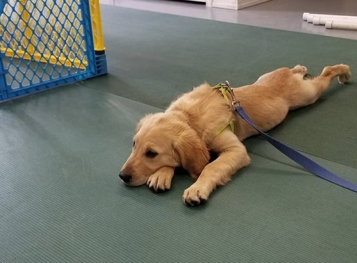 Puppy Socialization: the first 16 weeks