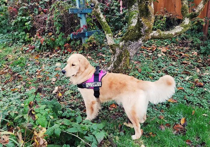 Ethical Golden Retriever Breeder | Big Bend Goldens