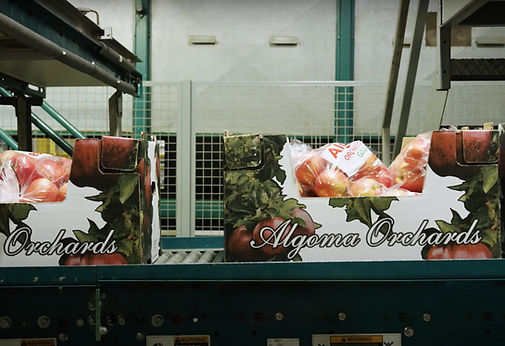 two Algoma Orchards boxes with packed apples running down the packing plant facility line